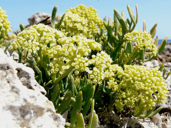 Ingredient We Love: Sea Fennel Extract