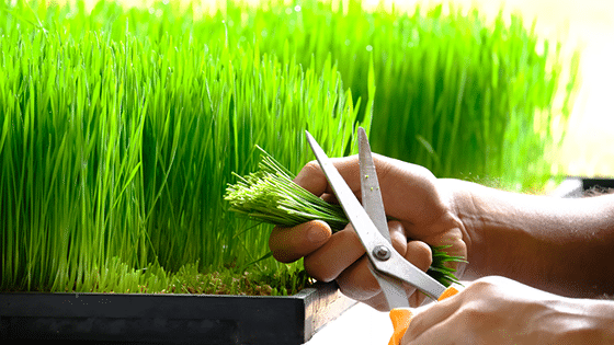 The Magic of wheat Grass-Some lesser Known facts