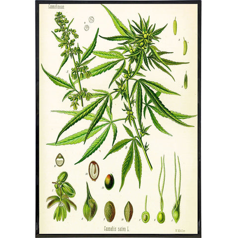 Cannabis Sativa Koehler Vintage Illustration Print