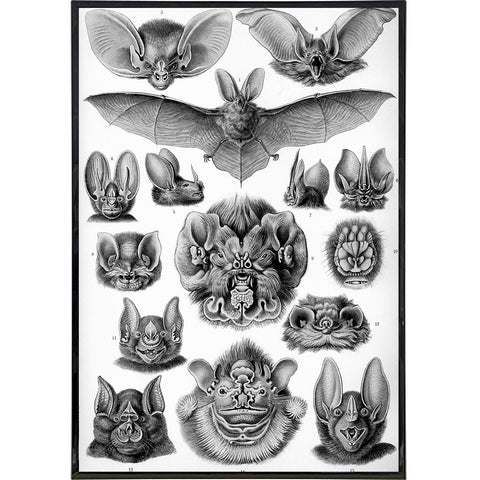 """Chiroptera Bats"" by Ernst Haeckel Print - Falstaff Trading / Nerd culture, Horror, B-movies, cult classic - uniquely cool / falstafftrading.com"