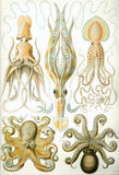 """Octopus and Squid"" Print by Ernst Haeckel - Falstaff Trading / Nerd culture, Horror, B-movies, cult classic - uniquely cool / falstafftrading.com"
