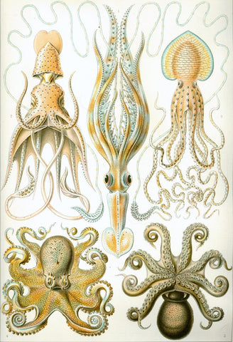 """Octopus and Squid"" Print by Ernst Haeckel - Falstaff Trading"