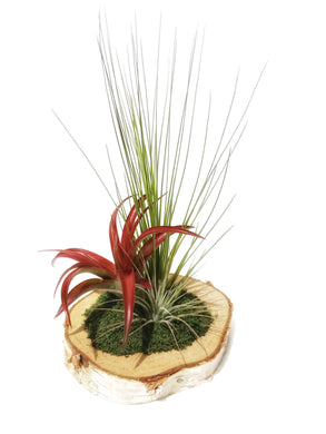 Sympathy Gift Box for Grief & Mourning / Living Plant Arrangement / Birchwood Air plant Display - Houseplant Collection