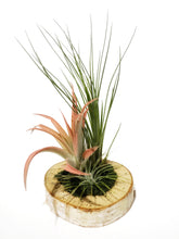 Load image into Gallery viewer, Sympathy Gift Box for Grief & Mourning / Living Plant Arrangement / Birchwood Air plant Display - Houseplant Collection