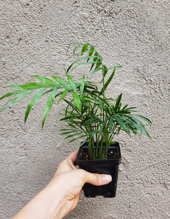 Neanthe Bella Palm / Chamaedorea elegans / Parlor Palm - Houseplant Collection