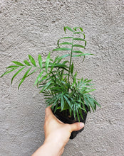 Load image into Gallery viewer, Neanthe Bella Palm / Chamaedorea elegans / Parlor Palm - Houseplant Collection