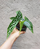 Angel Wing Begonia / My Special Angel / Rare Plant / Polka Dot - Houseplant Collection
