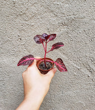 Load image into Gallery viewer, Iresine herbstii / Bloodleaf Plant / Red Plant / Pink Plant / Beefsteak Plant - Houseplant Collection