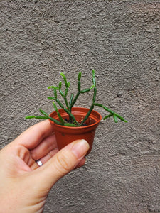 Mini Rhipsalis Hatiora salicornioides / Dancing Bones / Mistletoe Cactus - Houseplant Collection