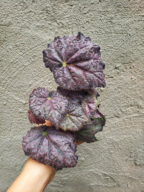 Purple Rex Begonia / Purple Plant / Great for Terrariums and Fairy Gardens - Houseplant Collection