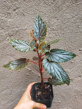 Load image into Gallery viewer, Angel Wing Begonia Miss Mummy / Rare Plant / Pink Plant / Purple Plant - Houseplant Collection