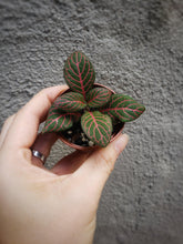 Load image into Gallery viewer, Fittonia / Red Plant / Red Nerve Plant / Great for Terrariums and Fairy Gardens - Houseplant Collection