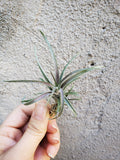 Tillandsia Schatzlii Red X / Air Plant / Red Plant / Rare Plant - Houseplant Collection