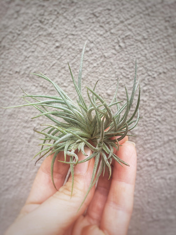 Tillandsia Bandensis Air Plant / Live Plant / Easy Tillandsia - Houseplant Collection