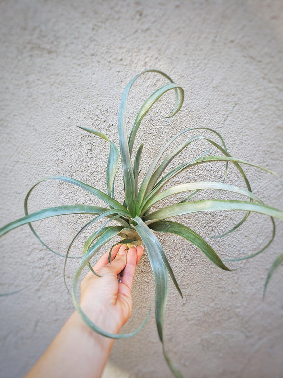 Tillandsia Capitata Carnival / Air Plant - Houseplant Collection