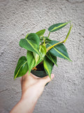 Brasil Philodendron Hederaceum Brazil - Houseplant Collection