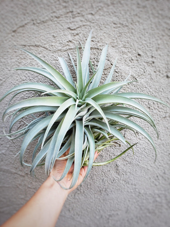 EXTRA LARGE Xerographica x Harrisii Tillandsia / Extremely Rare Air Plant - Houseplant Collection