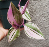 Wandering Jew Rainbow / Purple Tradescantia / Pink Inch Plant - Houseplant Collection