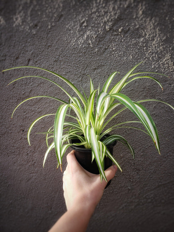 Spider Plant / Chlorophytum comosum / Airplane Plant - Houseplant Collection