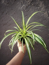 Load image into Gallery viewer, Spider Plant / Chlorophytum comosum / Airplane Plant - Houseplant Collection