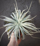 Tillandsia Tectorum Ecuador / CROWN ROYAL / Snow Ball Plant - Houseplant Collection