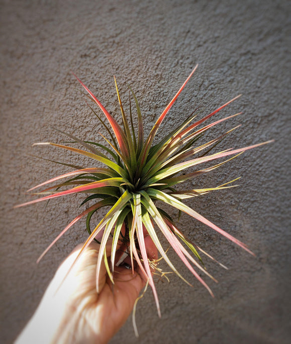 Tillandsia Ionantha x Concolor Select Red / Red Air Plant - Houseplant Collection