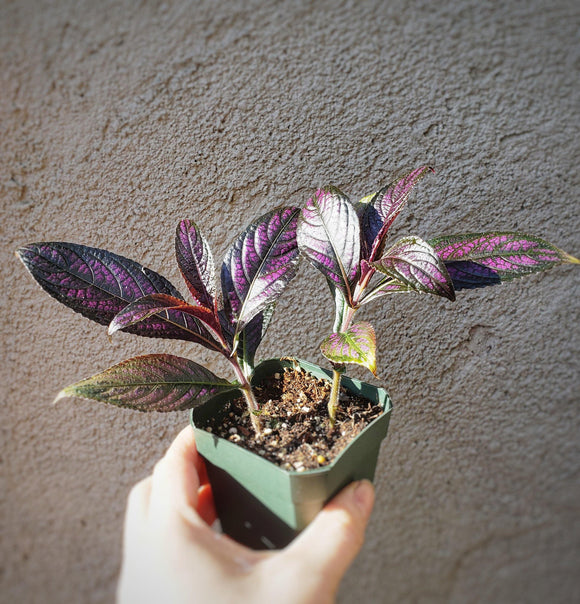 LIVE Persian Shield / Strobilanthes dyeriana / Royal Purple Plant / Bermuda conehead - Houseplant Collection
