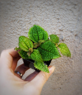 Mini Pilea involucrata / Friendship Plant / Moon Valley Pilea - Houseplant Collection