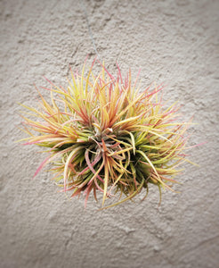 Tillandsia Ionantha Hanging Clump / Hanging Red Air Plant - Houseplant Collection
