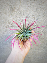 Load image into Gallery viewer, Pink Tillandsia Plagiotropica - Houseplant Collection