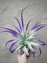 Load image into Gallery viewer, Purple Tillandsia Harrisii - Houseplant Collection