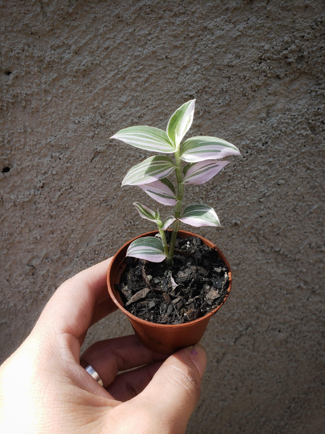 RARE Wandering Jew Lavender / Purple Tradescantia / Pink Inch Plant - Houseplant Collection