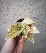 Load image into Gallery viewer, Looking Glass Angel Wing Begonia / Rare Plant / Pink Plant - Houseplant Collection
