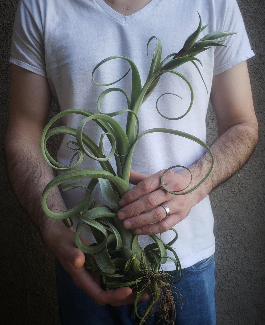 X Curly Slim / Curly Air Plant - Houseplant Collection