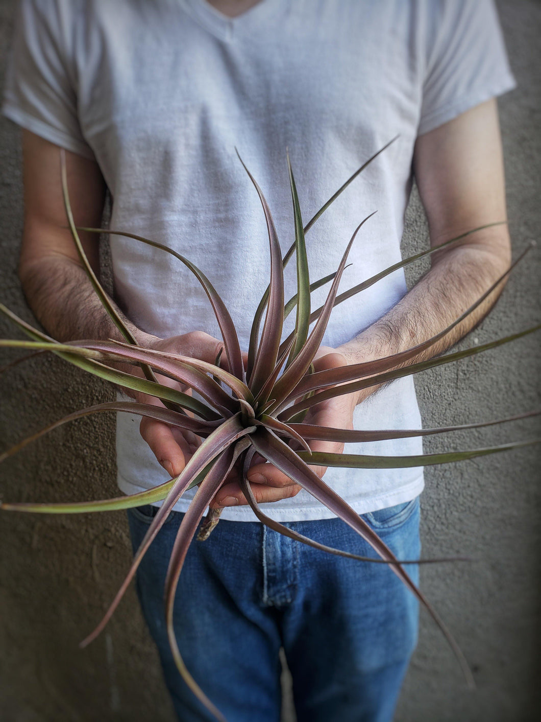 Novakii Tillandsia / Large Red Air Plant - Houseplant Collection