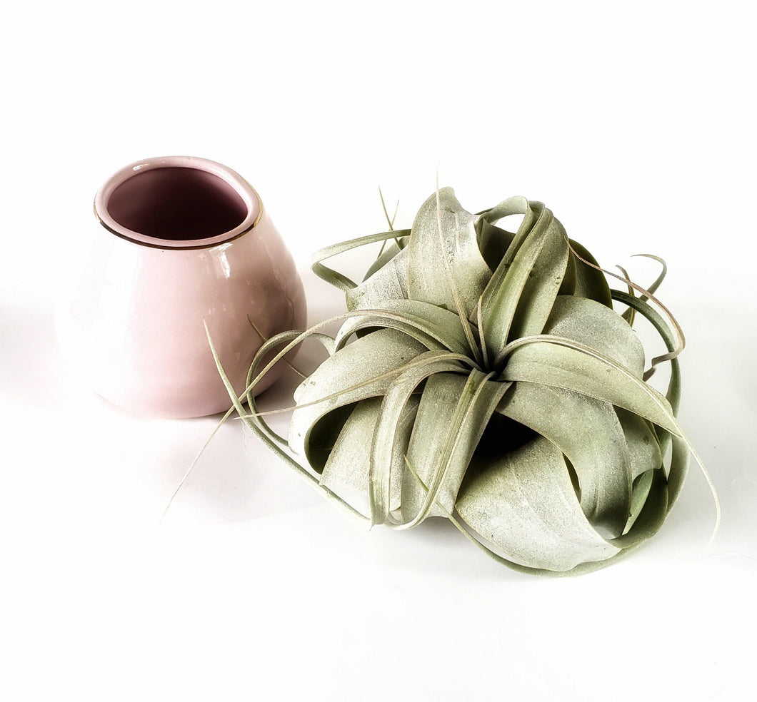 Pink Xerographica Gift Set / Mother's Day Gift Box / Plant Gifts for Mom - Houseplant Collection
