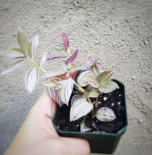 Load image into Gallery viewer, RARE Wandering Jew Lavender / Purple Tradescantia / Pink Inch Plant