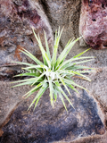 Tillandsia Ionantha Guatemala Air Plant - Houseplant Collection