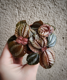 Mini Pilea / Norfolk Friendship Plant / Great for Terrariums and Fairy Gardens - Houseplant Collection