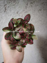 Load image into Gallery viewer, Mini Pilea / Norfolk Friendship Plant / Great for Terrariums and Fairy Gardens - Houseplant Collection