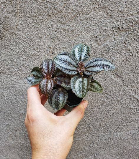 Pilea / Norfolk Friendship Plant / Great for Terrariums and Fairy Gardens - Houseplant Collection