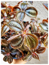 Load image into Gallery viewer, Pilea / Norfolk Friendship Plant / Great for Terrariums and Fairy Gardens - Houseplant Collection
