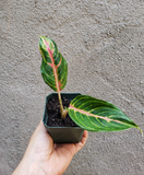 Red Ruby Aglaonema / Pink Plant / Red Plant / Chinese Evergreen / Easy to Grow - Houseplant Collection