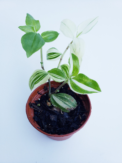 Wandering Jew Cream and Green / Variegated Tradescantia / Inch Plant - Houseplant Collection
