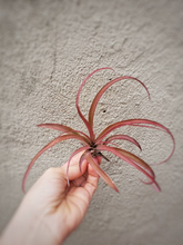 Load image into Gallery viewer, Tillandsia Pink Xerographica x Brachycaulos / Red Air Plant - Houseplant Collection