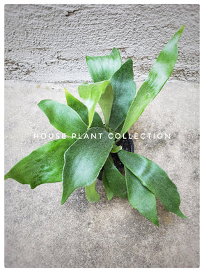 Staghorn Fern / Platycerium lemoinei - Houseplant Collection