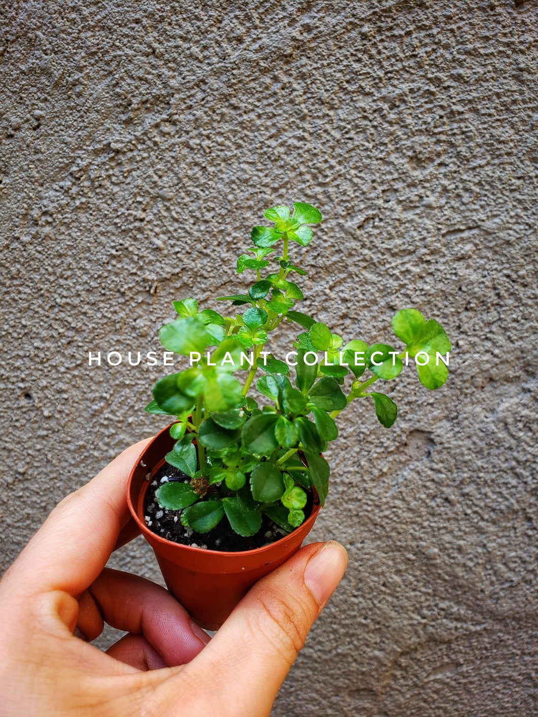 Hemianthus callitrichoides / Dwarf Baby Tears - Houseplant Collection