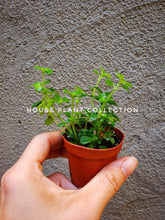 Load image into Gallery viewer, Hemianthus callitrichoides / Dwarf Baby Tears - Houseplant Collection