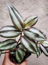 Load image into Gallery viewer, Wandering Jew **CUTTINGS** Variegated Tradescantia Inch Plant - Houseplant Collection
