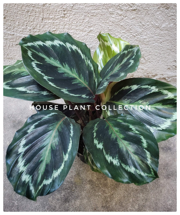 Calaetha Medallion / Roseopicta / Peacock Plant / Purple Plant / Prayer Plant - Houseplant Collection